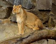 Panthera-leo-persica2