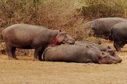 Hippopotamus-amphibius-capensis4