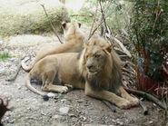 Panthera-leo-vernayi3