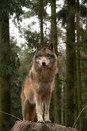Canis-lupus-lupus5