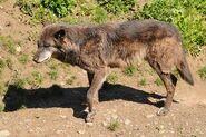 Canis-lupus-occidentalis5
