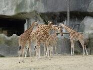Giraffa-camelopardalis-antiquorum5