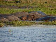 Hippopotamus-amphibius-capensis3