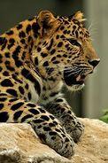 Panthera-pardus-orientalis4