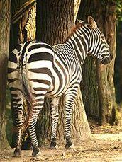 Equus-quagga-borensis6
