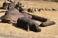 Hippopotamus-amphibius-capensis1