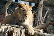 Panthera-leo-vernayi1