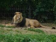 Panthera-leo-persica7