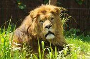 Panthera-leo-somaliensis4