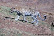 Panthera-pardus-melanotica3