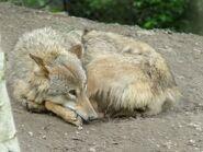 Canis-lupus-chanco1