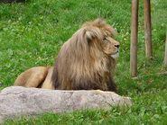 Panthera-leo-bleyenberghi3