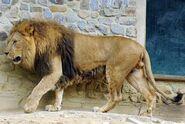 Panthera-leo-leo3