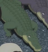 American-alligator-jungle-emperor-leo