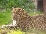 Panthera-pardus-shortridgei2