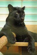 Panthera-pardus3