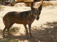 Canis-lupus-arabs2