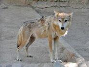 Canis-lupus-campestris2