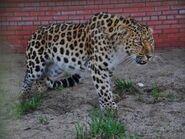 Panthera-pardus-orientalis1