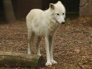 Canis-lupus-hudsonicus2
