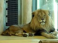 Panthera-leo-bleyenberghi5