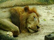 Panthera-leo-nubica