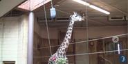 RWPZ Giraffe