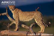Cheetah (Animals).jpg
