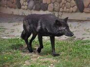 Canis-lupus-pambasileus2