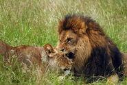 Panthera-leo1