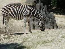 Equus-quagga-chapmani6