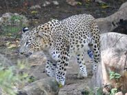 Panthera-pardus-saxicolor1