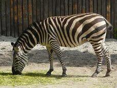 Equus-quagga4