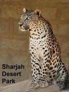 Panthera-pardus-nimr1