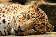 Panthera-pardus-shortridgei3