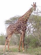 Giraffa-camelopardalis-giraffa2