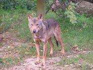 Canis-lupus-signatus5