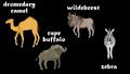 Dromedary Camel, Cape Buffalo, Wildebeest, and Zebra
