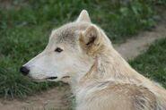 Canis-lupus-albus2