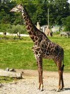 Giraffa-camelopardalis-tippelskirchi3