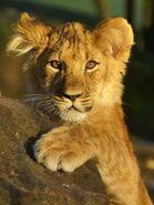 Panthera-leo3