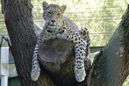 Panthera-pardus-fusca7