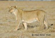 Panthera-leo-vernayi6