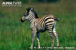 Baby Grant's Zebra