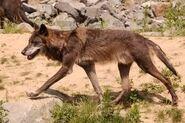 Canis-lupus-occidentalis1