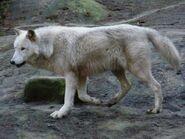 Canis-lupus-occidentalis2