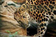 Panthera-pardus-orientalis5