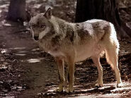 Canis-lupus-kurjak2