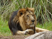 Panthera-leo-persica3