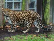 Panthera-pardus-delacouri3